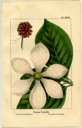 Cornus Nuttallii. Large-flowered Dogwood. Cornouiller de Nuttall. NORTH AMERICAN SYLVA - DOGWOOD.