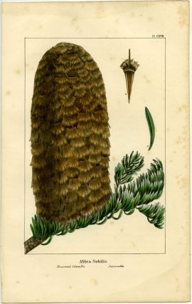 Abies Nobilis. Decorated Silver Fir. Sapin noble. NORTH AMERICAN SYLVA - FIR.