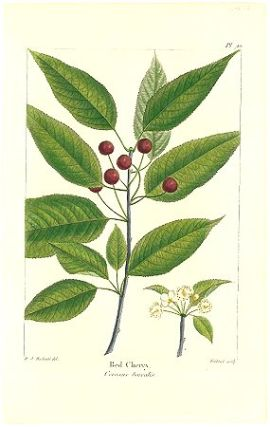 Red Cherry. Cerasus borealis. NORTH AMERICAN SYLVA - CHERRY.
