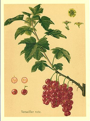 Versailler rote. RED CURRANT.