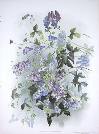 Monkshood. Aconitum uncinatum. MONKSHOOD
