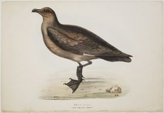 Skua Gull. Lestris catarractes; (Temm..k). BIRD PRINT- AUSTRALIA / EUROPE