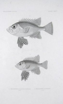 1. Priacanthe aux Grandes Ventrales. 2. Priacanthe Macroptere. ENGRAVING