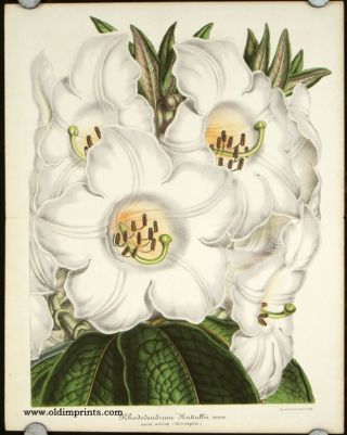 Rhododendron Nuttallii. Booth. Assam. Boutan. (Serre temperee.). RHODODENDRON