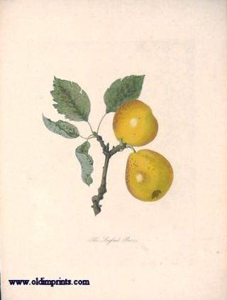 The Longland Pears. PEAR