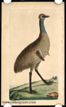 The Southern Cassowary. BIRDS / AUSTRALIA