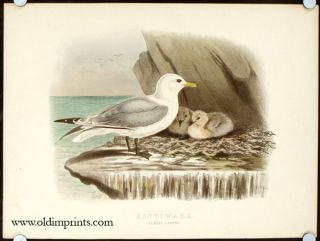 Kittiwake. Female and Young