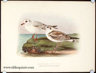 Black-Headed Gull. Immature in First and Second Years Plumage.