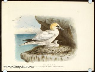 Gannet. Adult Female & Nestling Between Five & Six Weeks OId