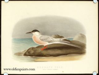 Roseate Tern. Adult Female Summer.