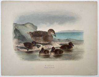 Eider. Female and Young