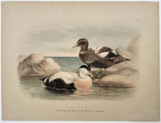 Eider. Adult Male and Male in Intermediate Plumage