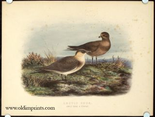 Arctic Skua. Adult Male and Female