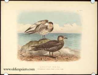 Arctic Skua. Intermediate Stages, Dark & Light Form. Plate.II