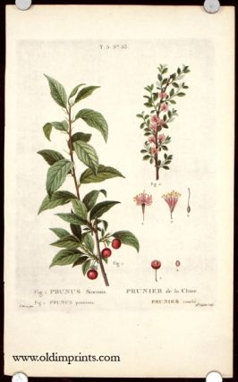 Prunus Sinensis. Prunier de la Chine. Prunus prostrata. Prunier couche. CHINA - BOTANICAL - CHERRY