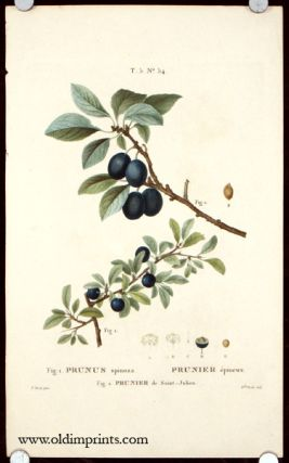 Prunus Spinosa. Prunier epineux. Prunier de Saint - Julien. PLUMS.