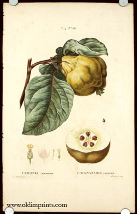 Cydonia communis. Coignassier commun. QUINCE - ANTIQUE BOTANICAL