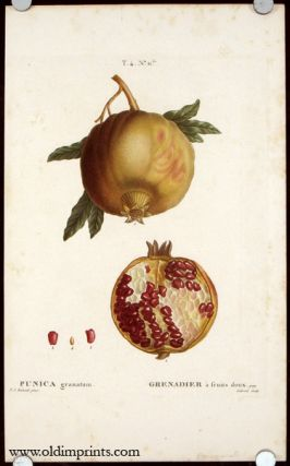 Punica granatum. Grenadier a fruits doux. POMEGRANATE.