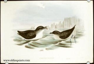 Puffinuria Urinatrix. [Diving Petrel]. AUSTRALIA
