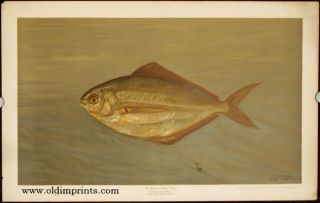 The Dollar or Butter Fish. Rhombus triacanthus. CHROMOLITHOGRAPHS - FISHES OF NORTH AMERICA