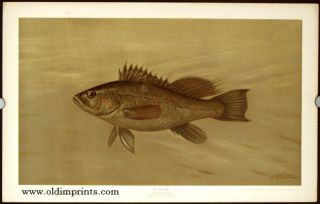 The Sea Bass. Centropristes striatus. CHROMOLITHOGRAPHS - FISHES OF NORTH AMERICA.