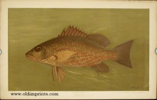 The Mangrove Snapper. Lutjanus griseus. CHROMOLITHOGRAPHS - FISHES OF NORTH AMERICA