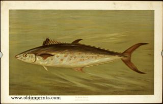 The Spanish Mackerel. Scomberomorus maculatus. CHROMOLITHOGRAPHS - FISHES OF NORTH AMERICA.