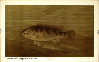 The Blackfish or Tautog. Tautog onitis. CHROMOLITHOGRAPHS - FISHES OF NORTH AMERICA.