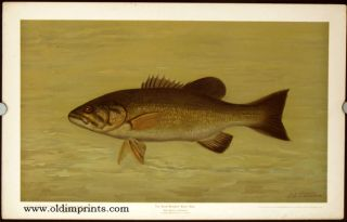 The Small-Mouthed Black Bass. Micropterus dolomieu. CHROMOLITHOGRAPHS - FISHES OF NORTH AMERICA