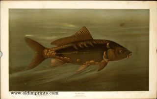 The Mirror Carp. Cyprinus carpio. CHROMOLITHOGRAPHS - FISHES OF NORTH AMERICA