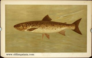 The Ouananiche or Winninish. Salmo salar ounananiche. CHROMOLITHOGRAPHS - FISHES OF NORTH AMERICA