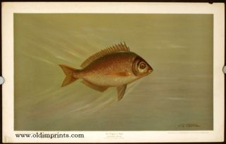 The Porgee, or Scup. Stenotomus chrysops. CHROMOLITHOGRAPHS - FISHES OF NORTH AMERICA.