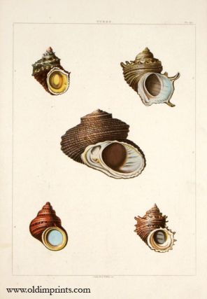 Turbo. ANTIQUE SHELL PRINT - HANDCOLORED AQUATINT ENGRAVING