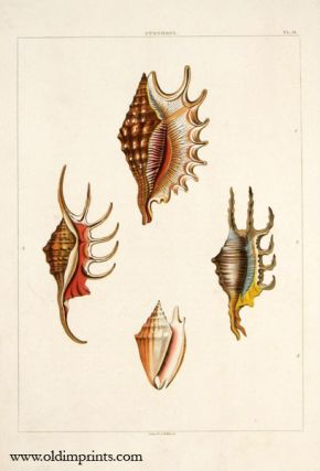 Strombus. ANTIQUE SHELL PRINT - HANDCOLORED AQUATINT ENGRAVING.