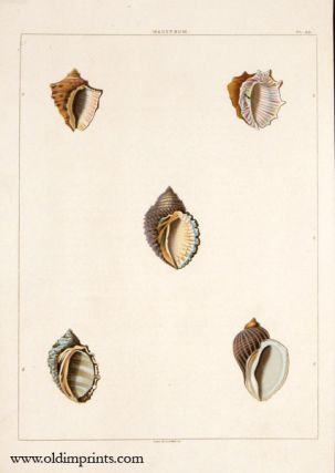 Haustrum. ANTIQUE SHELL PRINT - HANDCOLORED AQUATINT ENGRAVING.