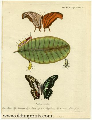 Papilion. exotic. ENGRAVING - BUTTERFLY / MOTH