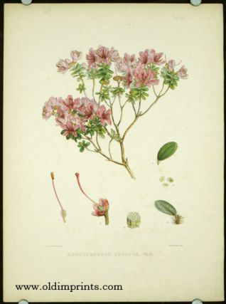 Rhododendron Setosum, Wall.