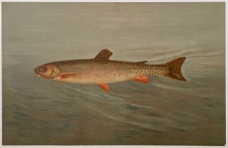 The Rocky Mountain Trout. CHROMOLITHOGRAPHS - FISHES OF NORTH AMERICA