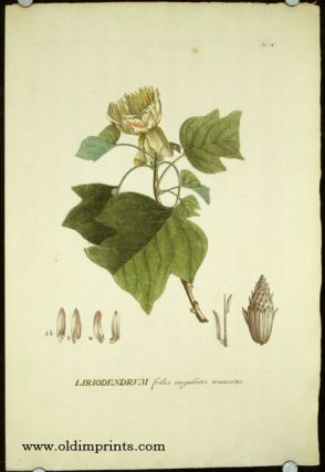 Liriodendrum foliis angulatis truncatis. TULIP TREE, Christopher Jacob Trew, Benedict Christian...