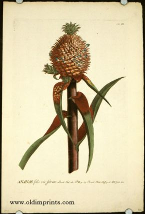 Ananas folio vix ferrato. [ANTIQUE BOTANICAL]. PINEAPPLE, Christopher Jacob Trew, Benedict...