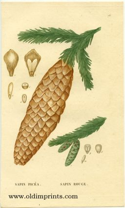 Sapin Picea. Sapin Rouge. COLOR STIPPLE ENGRAVING, Jean Henri Jaume Saint-Hilaire.