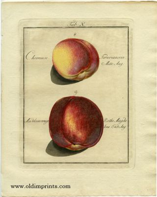 Chevreuse. Peruvianerin. Mitte Aug. Madeleinerouge. Rothe Magdalena. Ende Aug. PEACH