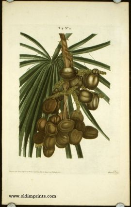 Untitled botanical print of dates. PALM DATES