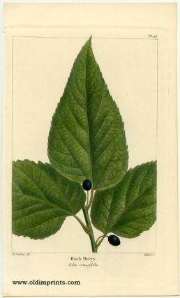 Hack Berry. Celtis crassifolia. NORTH AMERICAN SYLVA - HACKBERRY.