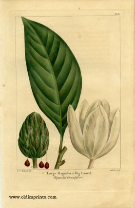 Large Magnolia or Big Laurel. Magnolia Grandiflora.