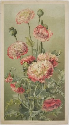 Opium Poppies. POPPY