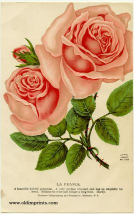 La France. (ROSE). CHROMOLITHOGRAPH - AMERICAN