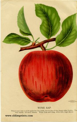 Wine Sap (APPLE). CHROMOLITHOGRAPH - AMERICAN