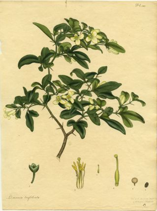 Limonia Trifoliata. Three-leafletted Limonia. CHINA