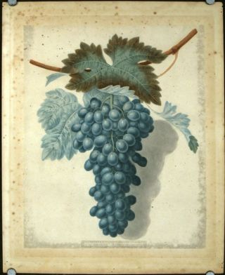 Plate LII. [Black Prince.] Aquatint from Pomona Britannica. GRAPES - GEORGE BROOKSHAW